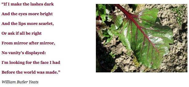Παντζάρι: κόκκινος μίσχος και φύλλο