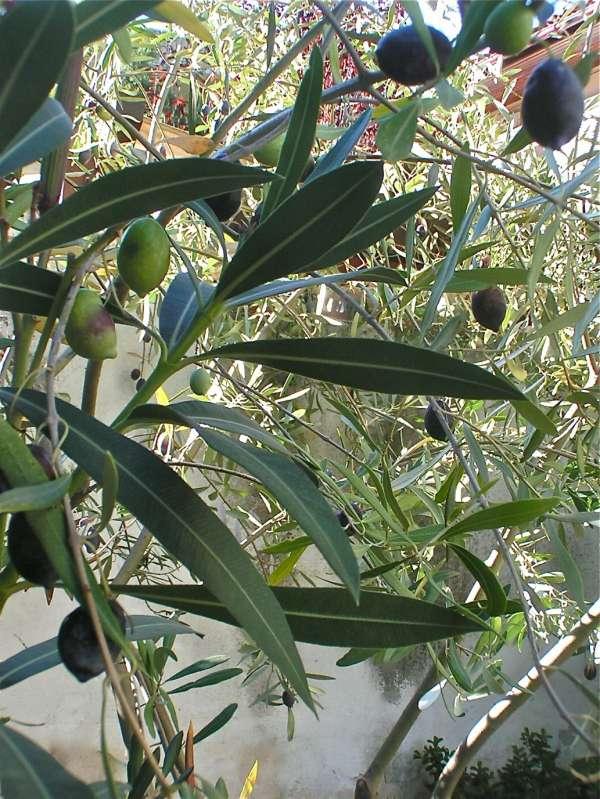 η ελιά μας στον κήπο