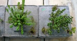 φυτοκυψέλες
