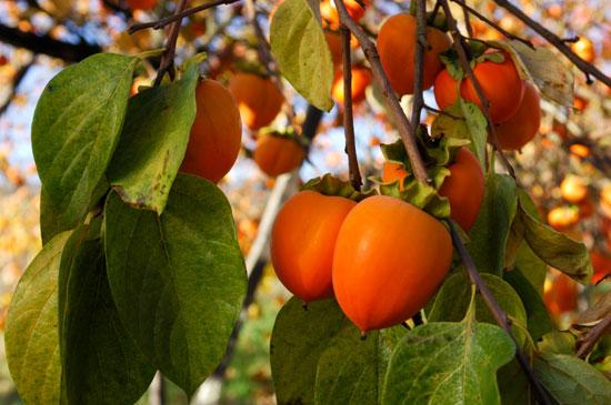 λωτός σούπερ φρούτα