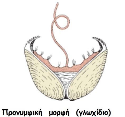 mydia - Glochidium