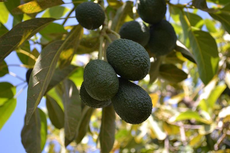 αβοκάντο Χας δένδρο