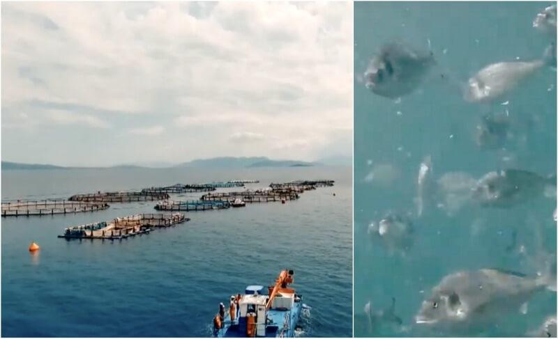 Ελληνική ιχθυοκαλλιέργεια προδιαγραφών: τσιπούρα