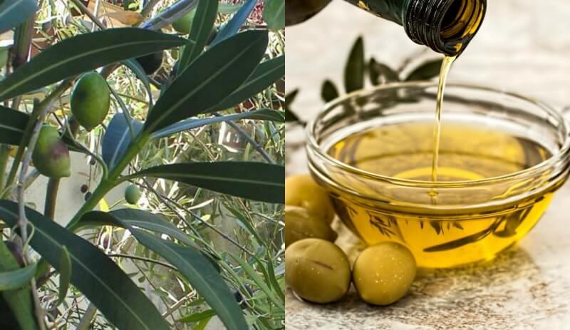 Μεσογειακή διατροφή: ελαιόλαδο