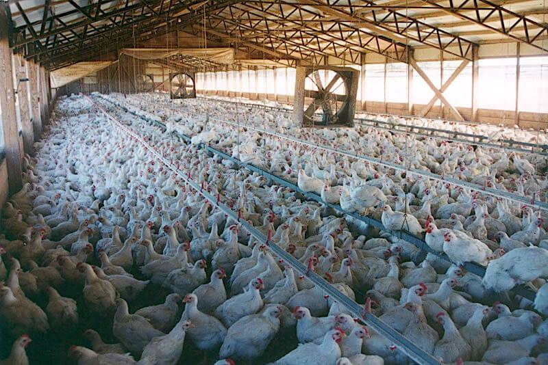 Εντατική παραγωγή κοτόπουλων – πτηνοτροφείο. Πηγή: (c) Gaia