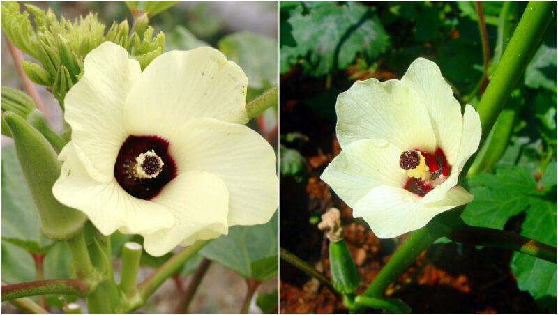 Λουλούδια μπάμιας - ανθισμένη μπάμια