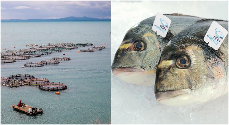 Λιπαρά, ω-3, πρωτεΐνες: ψάρια ιχθυοκαλλιέργειας Fish from Greece